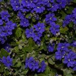 Dampiera Australian native plant
