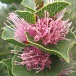 Hakea cucullata Australian native plant