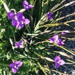 Patersonia occidentalis Australian native plant