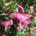 Prostanthera calycina Australian native plant