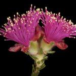Eremaea purpurea Australian native plant