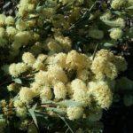 Grevillea synapheae Australian native plant