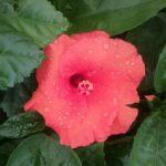 Hibiscus Tip Top