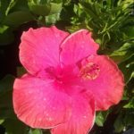 Hibiscus Thelma Bennell