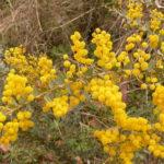 Acacia pravissima Australian native plant