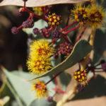 Acacia inaequilatera Australian native plant