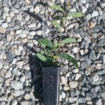 Acacia brumalis Australian native plant