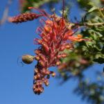 Grevillea bipinnatifida Australian native plant