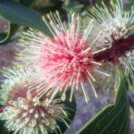 Hakea petiolaris Australian native plant