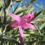 Eremophila Yanna Road Australian native plant