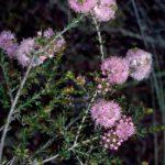 Kunzea micrantha Australian native plant