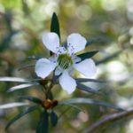 Leptospermum morrisonii White Opal Australian native plant