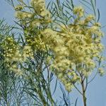Eucalyptus formanii Australian native plant