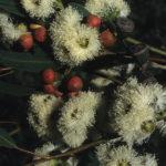 Eucalyptus gomphocephala Australian native tree