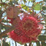 Eucalyptus pyriformis Australian native plant