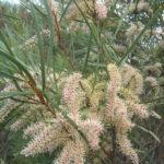 Hakea minyma Australian native plant