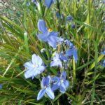 Orthrosanthus polystachys Australian native plant