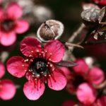 Leptospermum Crimson Cascade Australian native plant