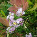 Dampiera trigona pink Australian native plant