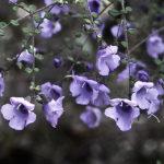 Prostanthera violacea Australian native plant