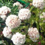 Stenanthemum scortechinii Australian native plant