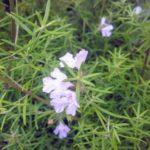 Westringia longifolia mauve Australian native plant