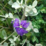 Dampiera altissima Australian native plant
