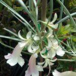 Eremophila oppositifolia Moonlight Australian native plant