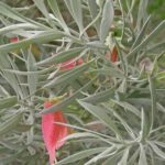 Eremophila pterocarpa Australian native plant