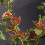 Hakea denticulata Australian native plant