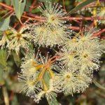 Eucalyptus sargentii Australian native tree
