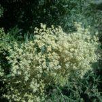 Buddleia saligna perennial plant