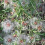 Clematis microphylla Australian native plant