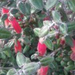 Correa Firebird Australian native plant