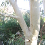 Eucalyptus victrix Australian native gum tree