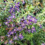Olearia floribunda violet Australian native plant