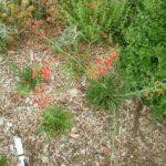Penstemon Iron Maiden perennial plant