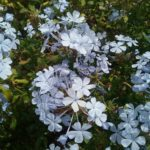 Plumbago auriculata blue form perennial plant