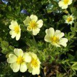 Potentilla recta var sulphurea perennial plant