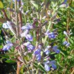 Salvia pallida perennial plant