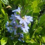 Scaevola crassifolia Australian native plant