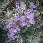 Westringia purpurea Australian native plant