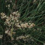 Hakea actites Australian native plant