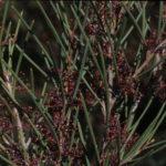 Hakea strumosa Australian native plant
