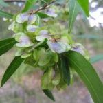 Dodonaea triquetra Australian native plant