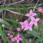 Boronia chartacea Australian native plant