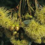 Eucalyptus dielsii Australian native plant