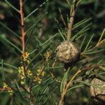 Hakea pachyphylla Australian native plant