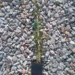 Agonis theiformis Australian native plant