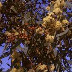 Eucalyptus pileata Australian native plant